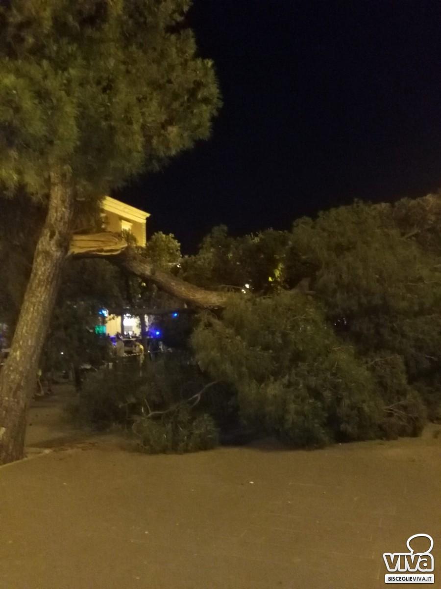 albero caduto in piazza Vittorio Emanuele II
