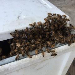 Sciame d'api recuperato in via Sant'Andrea