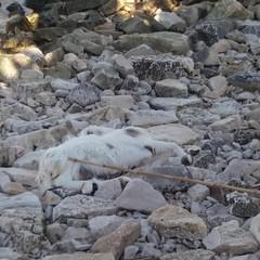 Carcassa di capra spiaggiata sul lungomare biscegliese