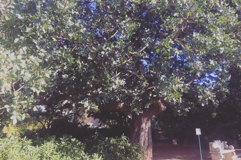 Albero di pistacchio all'interno del Giardino botanico di Bisceglie