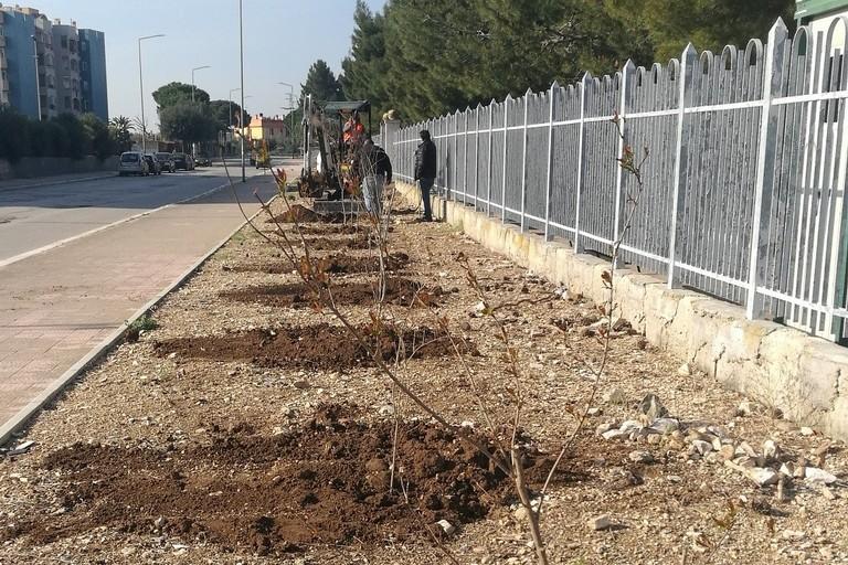 50 alberi di melograno donati alla città