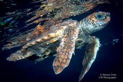 Tartarughe marine liberate al largo delle coste biscegliesi