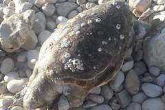 Tre tartarughe spiaggiate sul litorale biscegliese