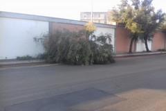 Auto abbatte un albero in via della libertà