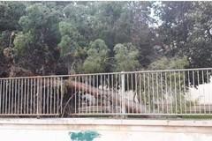 Il vento sradica un albero nell'ex istituto professionale di via Villa Frisari