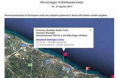 L'alga tossica ha fatto tappa a Bisceglie: seconda quindicina di agosto da bollino rosso
