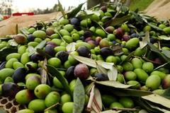 Crisi del settore olivicolo, frantoi chiusi per quattro giorni