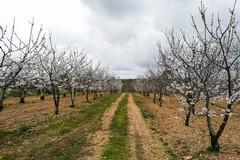 Gelate marzo 2020, il Comune chiede lo stato di calamità naturale. Modulo da compilare per gli agricoltori