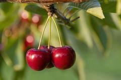 Un festival dedicato alla promozione della ciliegia
