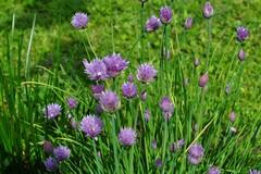 L'erba cipollina