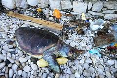 Tartaruga spiaggiata in zona Salsello