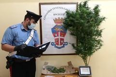 Minorenne sorpreso con oltre 200 grammi di marijuana e una pianta di canapa in casa