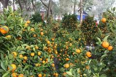 Il kumquat