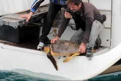 Liberate al porto di Bisceglie le tre tartarughe salvate dal Wwf di Molfetta
