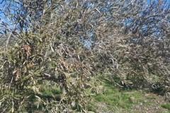 Maltempo, dopo gelo e neve si contano danni su olive nelle province Bari e Bat