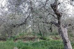 Maltempo, Coldiretti: «Strage di ulivi, sale la conta dei danni nelle province di Bari e Bat»