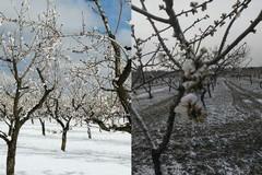 Maltempo, Coldiretti: «Gelo su peschi e mandorli in fiore, addio frutta»