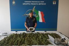 Trentenne biscegliese ai domiciliari per possesso di marijuana