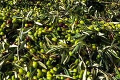 Bloccati con 16 quintali di olive nell'agro biscegliese