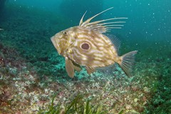 Il pesce San Pietro