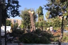 Pro Natura esprime sconcerto per l'abbattimento dei pini in piazza Vittorio Emanuele II