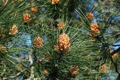 Il pino silvestre