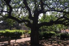 Tre alberi nell'elenco monumentali della regione Puglia
