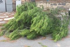 Ramo di pino si spezza in via Fragata