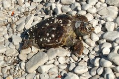 Tre tartarughe spiaggiate nelle ultime 48 ore, è emergenza