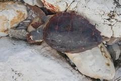 Tartaruga spiaggiata sulla litoranea di Levante