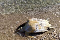 Tartaruga spiaggiata in zona Pretore