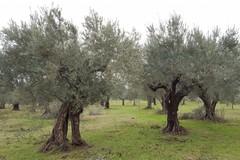Ulivo days, il tour di Buonaterra passa anche per i frantoi biscegliesi
