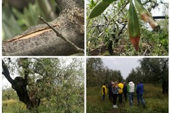 """Maltempo: nelle campagne della Bat è """"strage di ulivi"""", subito lo stato di calamità"""