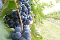 Il mercato delle uve da vino non va