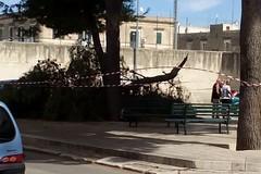 Giù un grosso ramo di pino in via Galilei: gli alberi non erano stati potati