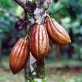 Il cacao