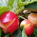 Convegno sul cracking delle ciliegie, una riflessione di Enzo Di Pierro