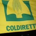 Maltempo, Coldiretti: «Allarme per frutta estiva e pomodori»