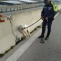 La Polizia Locale salva uno splendido esemplare di pastore maremmano