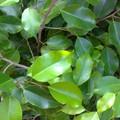 Ficus beniamino
