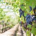La Puglia perde il coordinamento degli assessorati regionali all'agricoltura