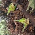 Invasione di pappagalli nella Bat e nel barese, Coldiretti: «Colpa del clima tropicale»