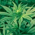 Marijuana: cresce l'interesse del mercato