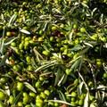 «Cinque milioni per i mutui delle imprese olivicole»