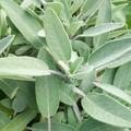 Salvia vet