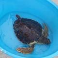 La giovane tartaruga Petrolina rimessa in libertà nelle acque biscegliesi