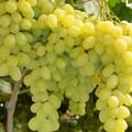 Cooperazione fra pubblico e privati per la commercializzazione dell'uva da tavola