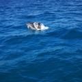 Avvistati quattro delfini a largo delle acque di Bisceglie