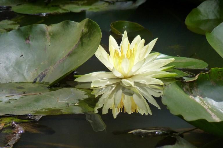 Fior di loto bianco