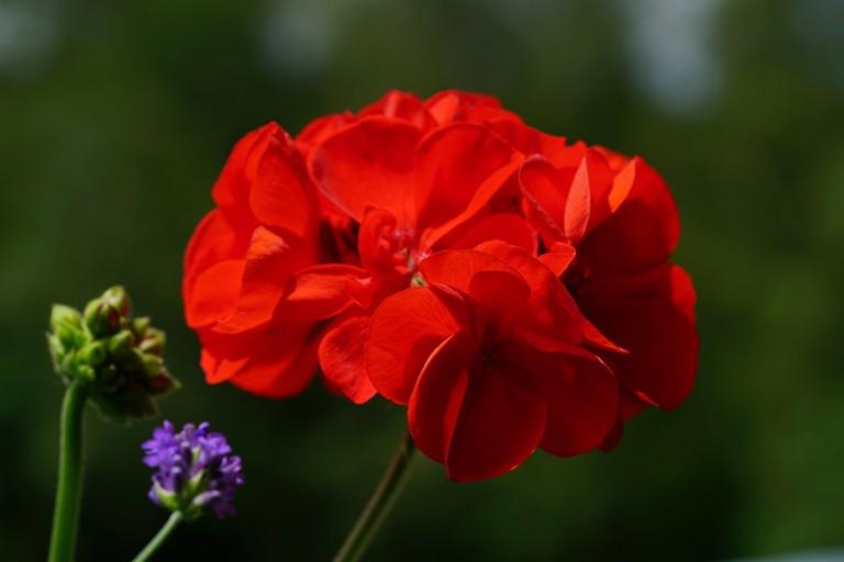 Geranio rosso